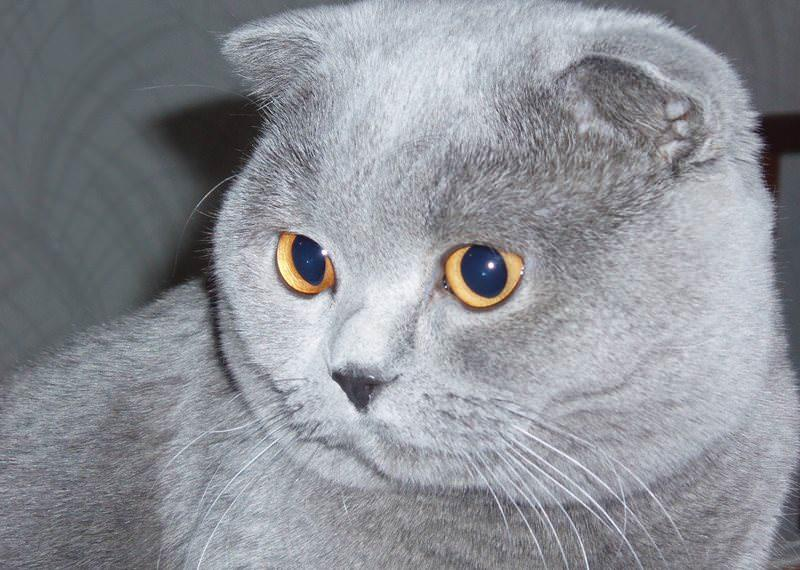коты шотландцы фото вислоухие