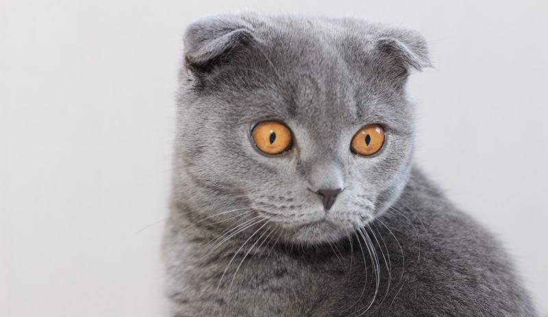 фото кота вислоухого шотландца