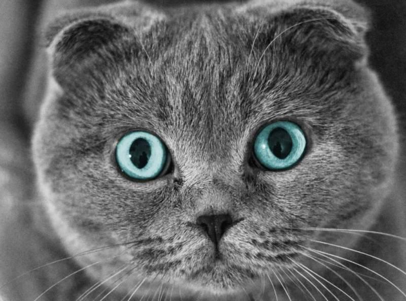 Шотландская вислоухая порода кошек   40 фото