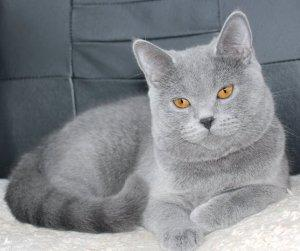 Шотландская прямоухая кошка - Скоттиш страйт 33 фото
