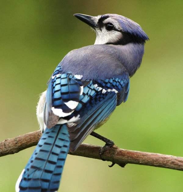 Птица сойка: 85 фото как выглядит птица и где найти ее гнездо