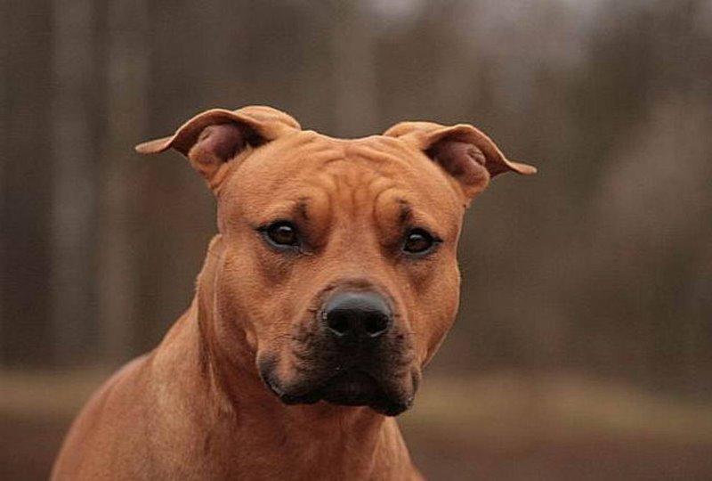 собака стафтерьер фото