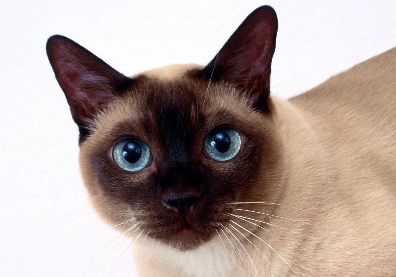 Тайская кошка описание породы фото