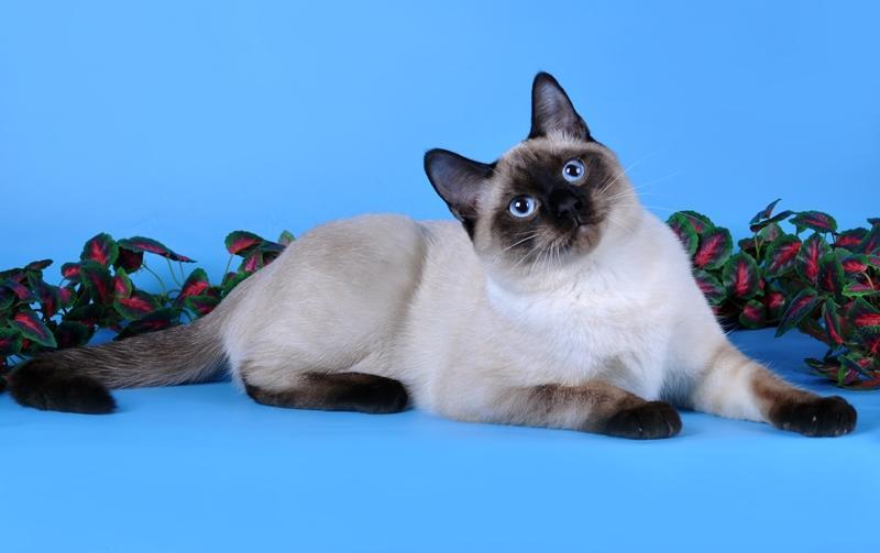 Коты тайской породы и их фото