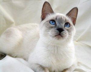 Тайская кошка: описание породы и характера, фото и видео