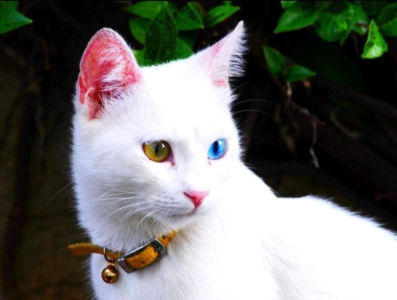 котики турецкий ван