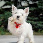 Белый терьер (55 фото): высокогорный вест хайленд уайт, описание породы, характер собаки
