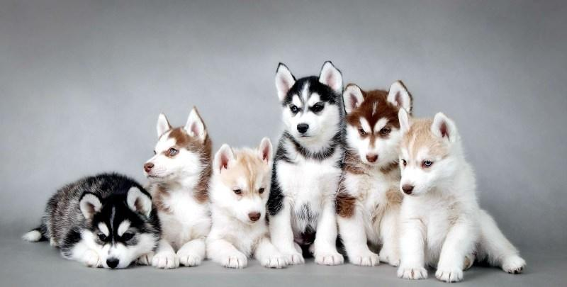 хаски фото щенок