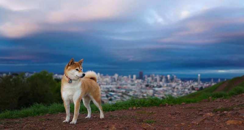Хатико порода собаки фото
