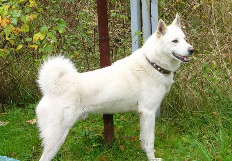 Западносибирская лайка (50 фото): какой окрас, белая собака, описание, видео