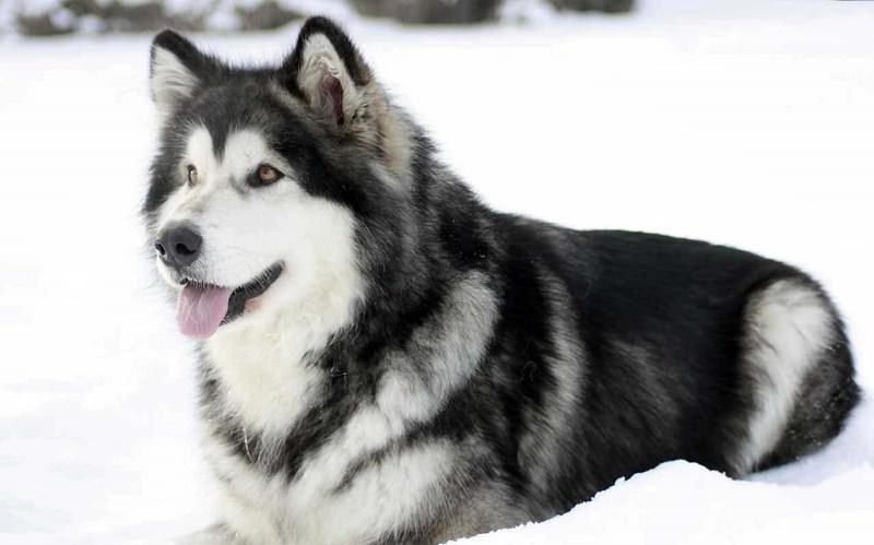 Аляскинский маламут (50 фото): собака в упряжке, вязка лайки, описание, видео
