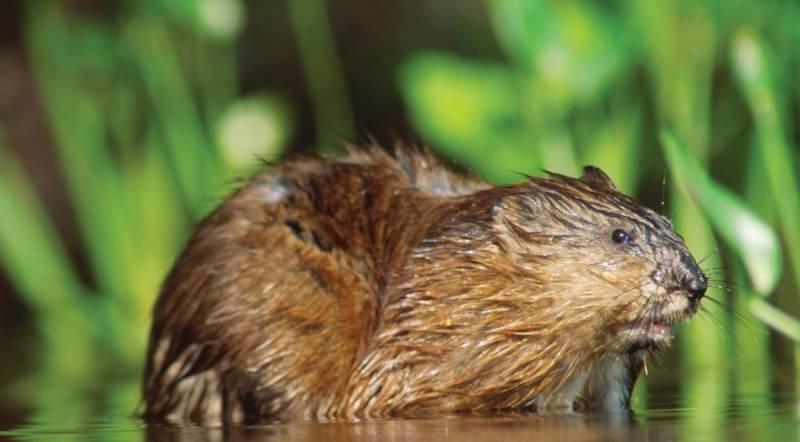 Где обитает животное ондатра и как выживает?