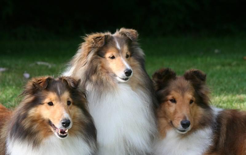 Лучшая порода собак для любителей активного отдыха - шелти