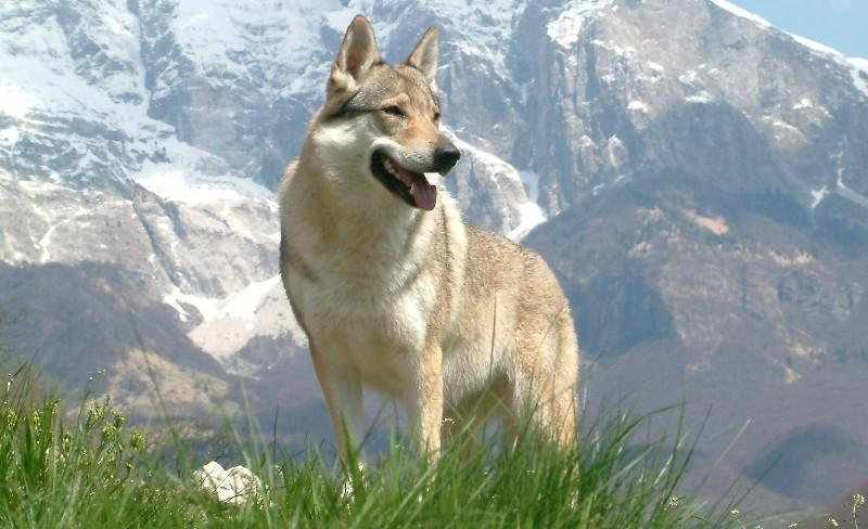 Сильная и выносливая чехословацкая волчья собака
