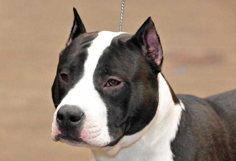 Характер и особенности породы собак амстафф