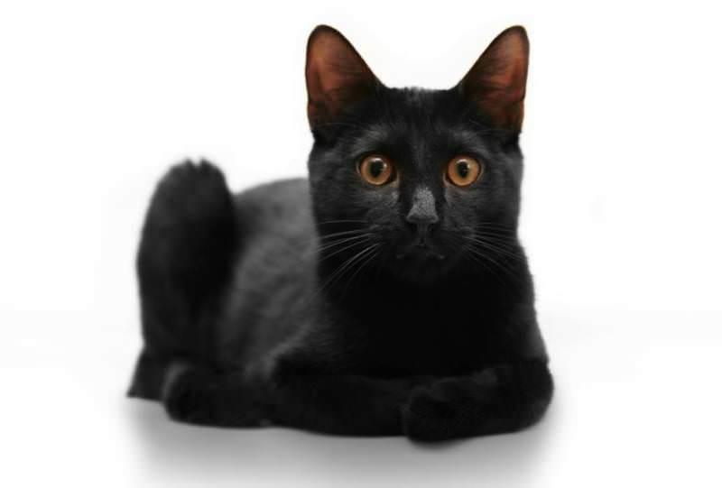 кошки породы бомбей фото