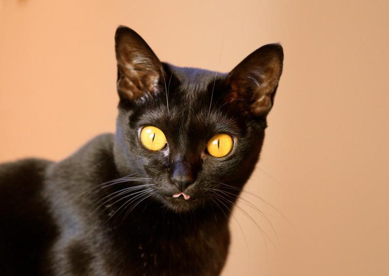 Несколько слов о кошке бомбей