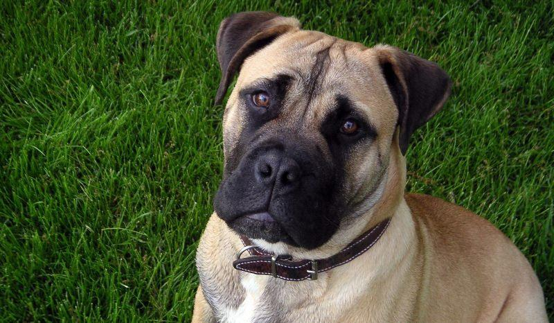 Особенности собаки бульмастиф