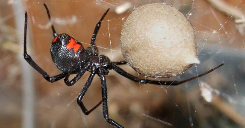 Пауки черной вдовы