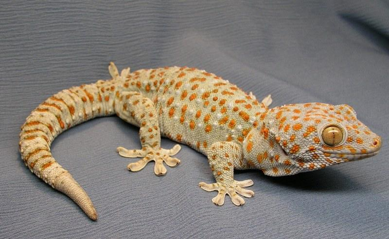 Ящерица цепкохвостый геккон