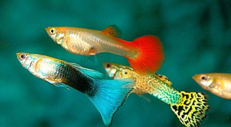 Как разводить гуппи в аквариуме
