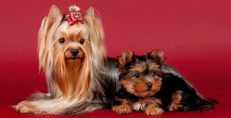 Порода собаки йоркширский терьер