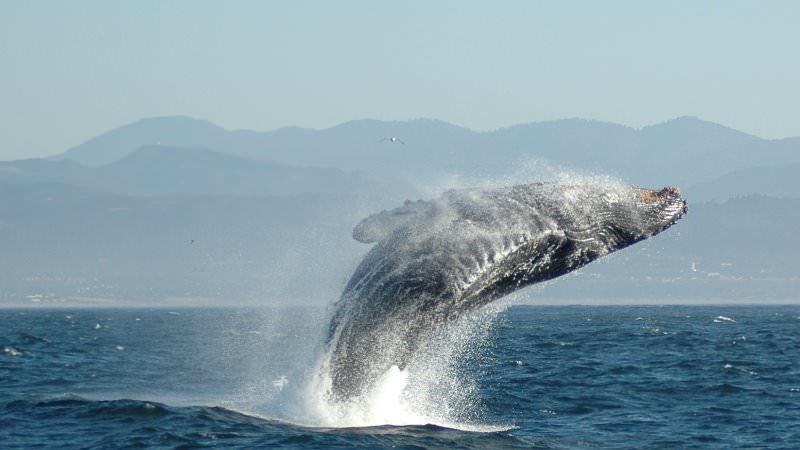 Чем примечателен кит - кашалот?