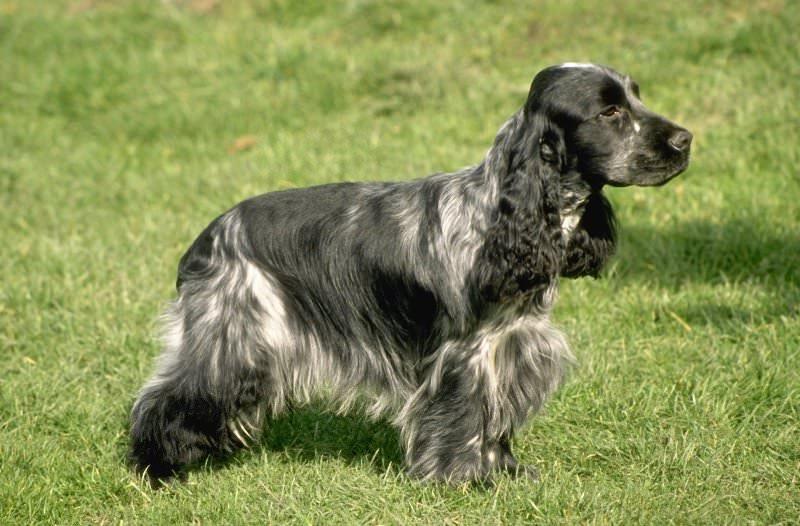 порода собаки спаниель фото