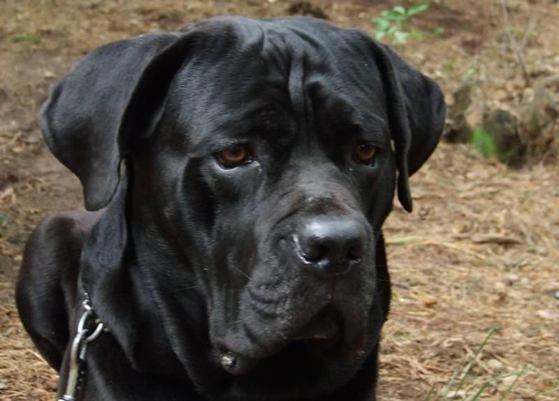 Порода собак кане-корсо и ее характеристики с фото