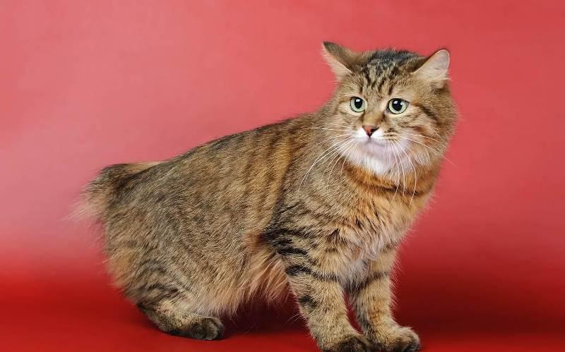 Кошки породы Бобтейл: фото, характеристика