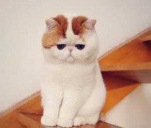 Коты короткие лапы пушистые