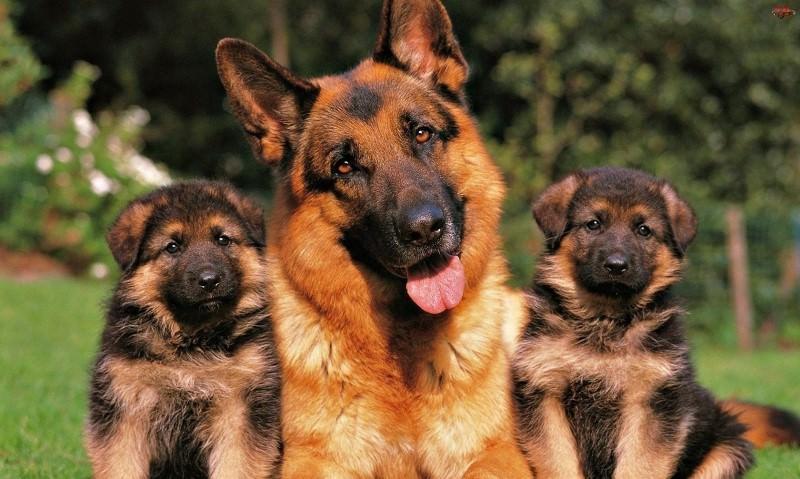 Как выбирать и воспитывать щенков немецкой овчарки