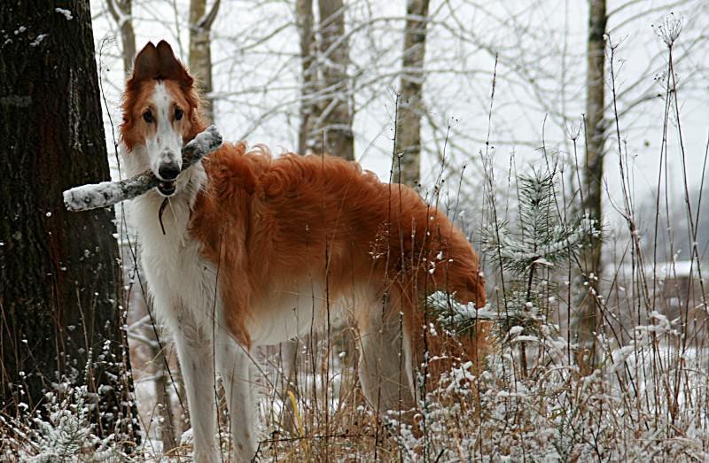 Самые красивые собаки в мире: ТОП-10