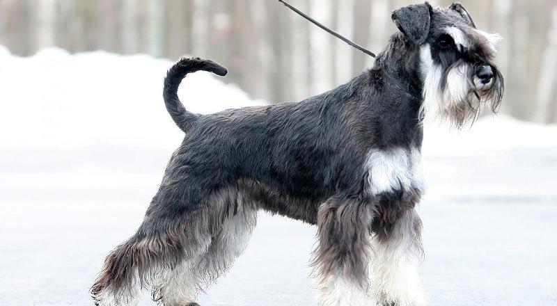 Порода собак цвергшнауцер