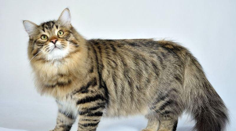 Своенравный но преданный хозяину кот сибиряк