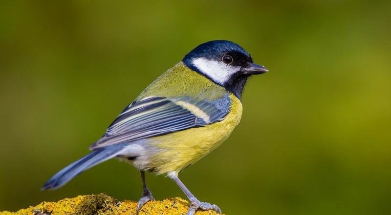 синицевые птицы подмосковья фото