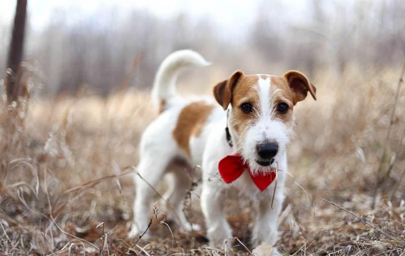 Джек-Рассел-терьер – порода собаки из фильма «Маска»