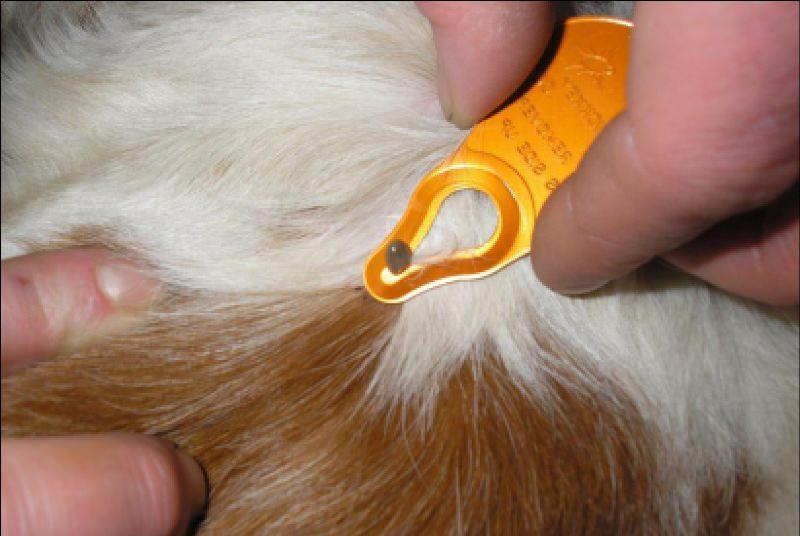 Если собаку укусил клещ - что нужно делать?