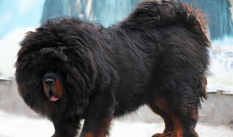 Чем привлекательны самые большие собаки в мире