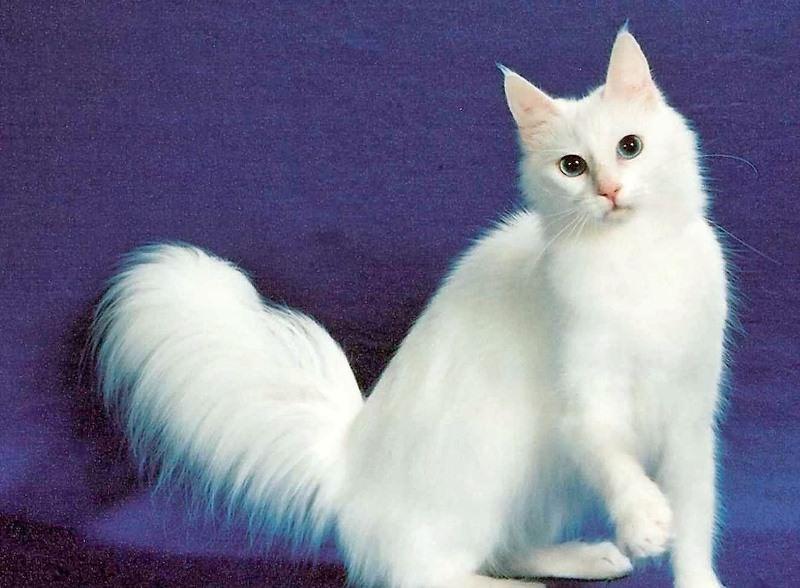 Порода кошки турецкая ангора — 4 Лапки