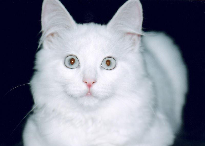 Порода кошки турецкая ангора