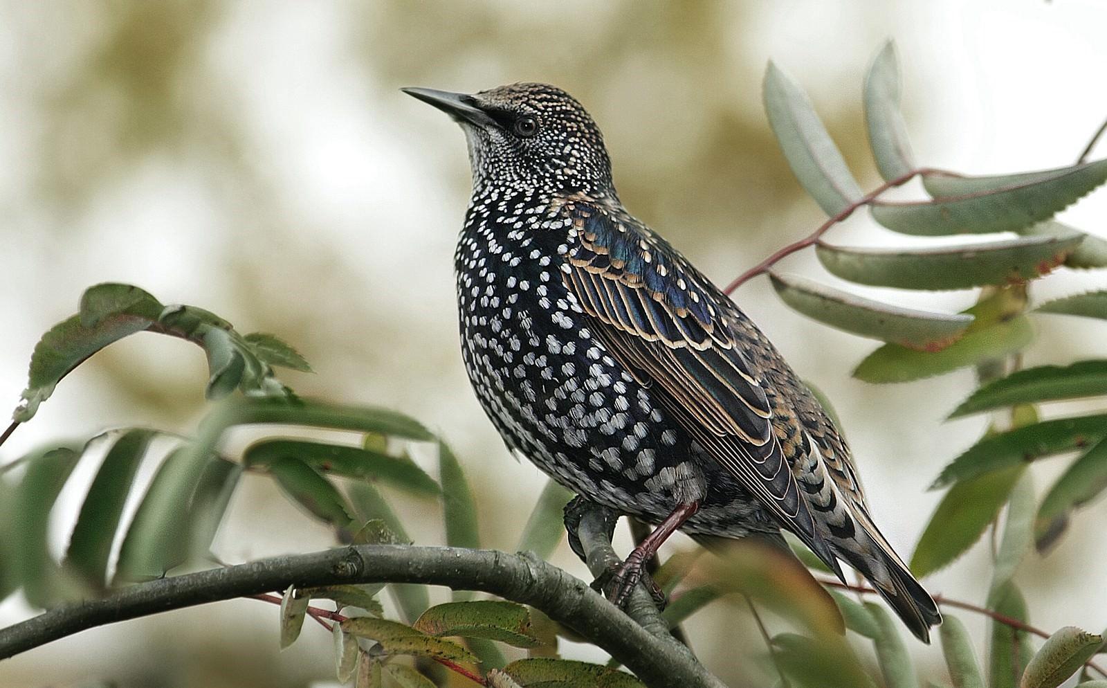 ночные птицы подмосковья фото и описание фарфор это