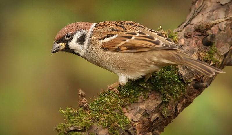 Скворцовые птицы подмосковья фото