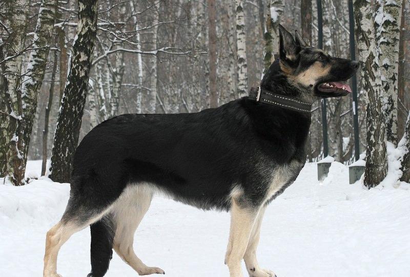 Порода собаки восточно-европейская овчарка