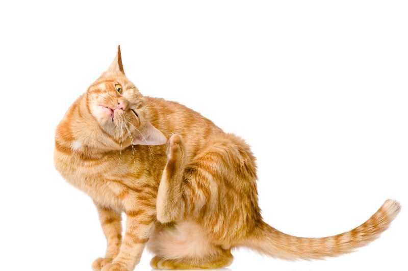 Откуда берется и как проявляется ушной клещ у кошки?