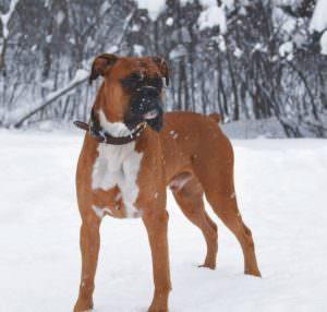 Особенности собаки боксер