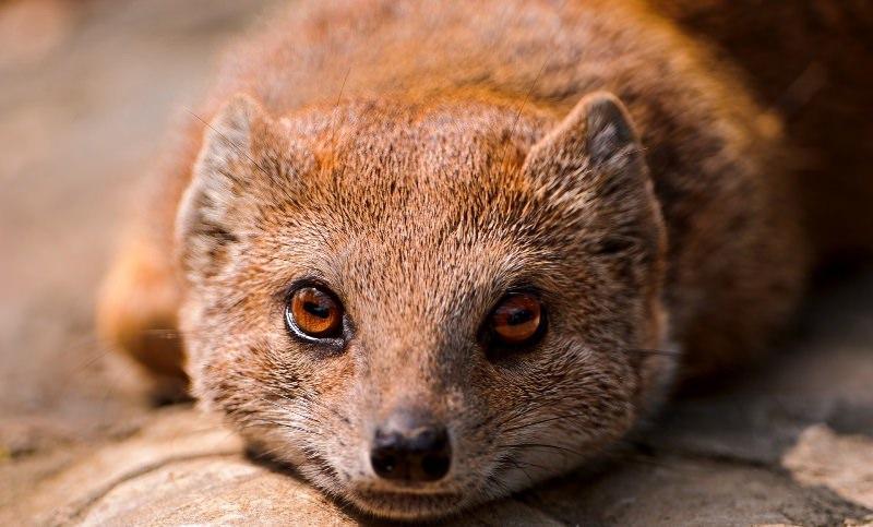 Знакомство с мангустами: мифы и реалии