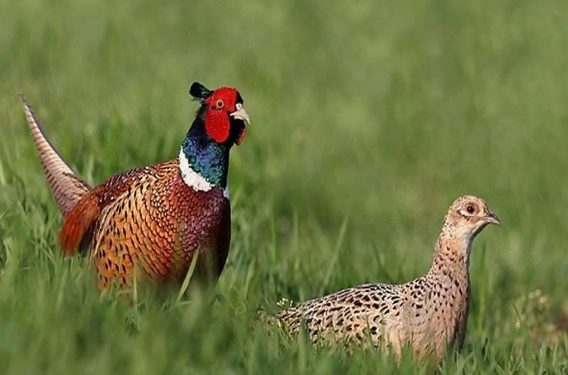 Обыкновенный кавказский фазан