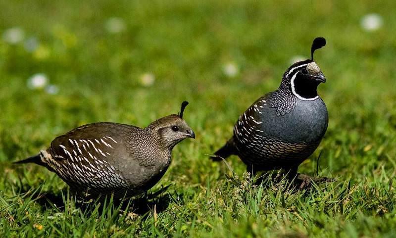 фото птица перепел