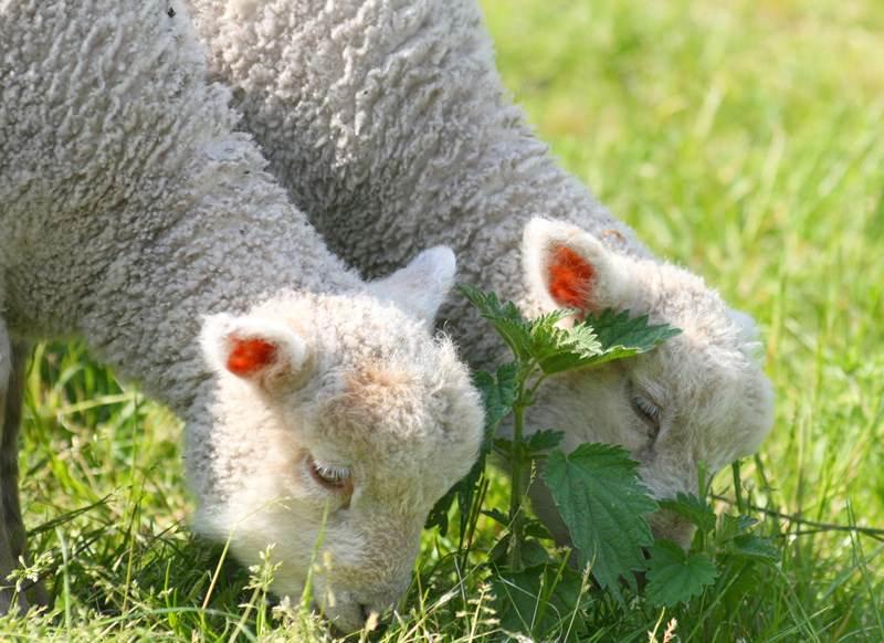 Действия с новорожденным ягненком и другими <i>кто ребёнок у овцы</i> животными